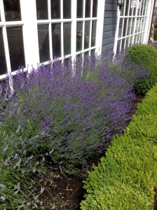Lavender in Old Towne Tacoma